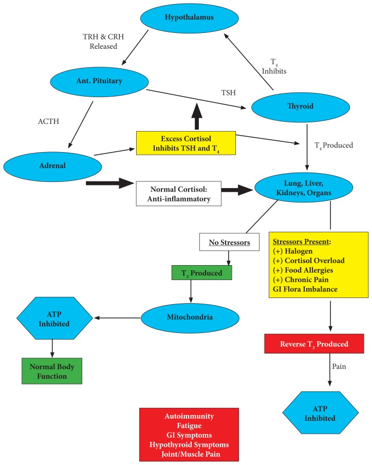 The interactions between the stress response (HPA) axis and the thyroid (HPT) axis